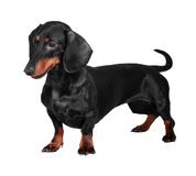 Dachshund isolated on white background. Black and brown dog (dachshund) isolated on white background Stock Photo