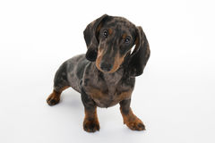 Dachshund isolated on white Royalty Free Stock Photos