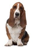 Dachshund-Jagdhund, 2 Jahre alt, sitzend lizenzfreie stockfotografie