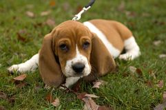 Dachshund-Jagdhund, der in das Gras legt lizenzfreies stockfoto