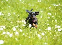 Dachshund jumping Royalty Free Stock Photo