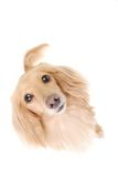 Dachshund kaninchen Royalty Free Stock Images