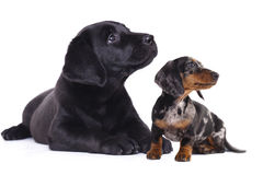 Dachshund and labrador Stock Image