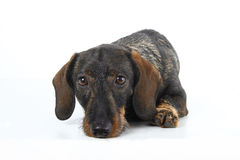 Dachshund laying Stock Photo