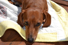 A dachshund laying on a yellow quilt. Stock Photography