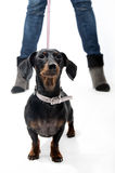 Dachshund on a leash Royalty Free Stock Photography