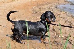 Dachshund on a leash Royalty Free Stock Photo
