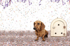 Dachshund left behind for Carnival. Dachshund at Carnival Party time theme Royalty Free Stock Photos