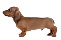 Dachshund Lisse-d'une chevelure image stock