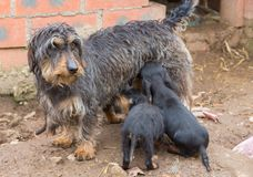 Dachshund litter Stock Photo