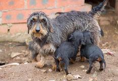 Dachshund litter Royalty Free Stock Images