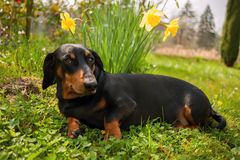 Dachshund. Little black dachshund on spring garden with flowers royalty free stock photos