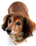 Dachshund, longhair. Long hair dachshund isolated on a white background Royalty Free Stock Images