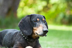 Dachshund look Stock Photos