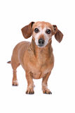 Dachshund looking at camera Royalty Free Stock Image