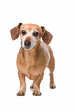 Dachshund looking at camera Royalty Free Stock Photography