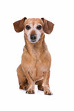 Dachshund looking at camera Stock Images