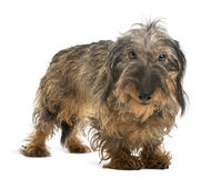 Dachshund looking at the camera and smiling Stock Photography