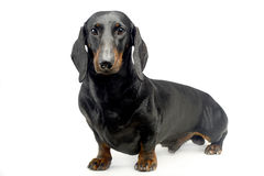 Dachshund looking into the camera on a white background in the s. Dachshund looking into the camera on  white background in the studio Stock Photography