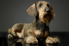 Dachshund looking  and lying up in the studio table. Dachshund looking up in the studio table Royalty Free Stock Photo