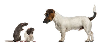 Dachshund looking at mouses, isolated. On white royalty free stock images