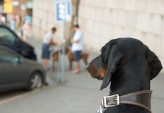Dachshund looking at other dogs Stock Photography