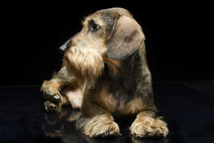 Dachshund looking out of the picture in a dark studio. Dachshund looking out of the picture in dark studio Stock Photos