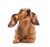 Dachshund looking to top Royalty Free Stock Images