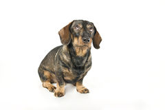 Dachshund looking up Royalty Free Stock Image