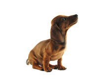 Dachshund looking up Stock Images