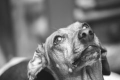 Dachshund Looking Up Royalty Free Stock Photo