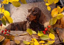 Dachshund looks out the window where it`s raining Royalty Free Stock Images