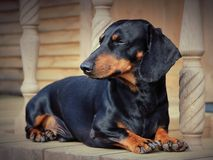Dachshund lying on the porch Stock Images