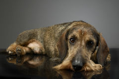 Dachshund lying on the studio table in a dark background. Dachshund lying on the studio table Stock Photography
