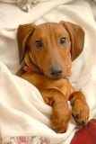 Dachshund mignon Photos stock