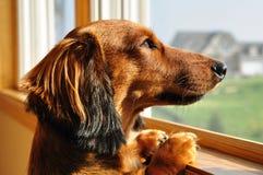 Dachshund miniatura che osserva fuori una finestra Fotografie Stock Libere da Diritti