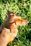 Dachshund miniatura de antedicho en la hierba Foto de archivo