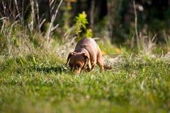 Dachshund miniatura en la hierba Fotografía de archivo libre de regalías