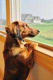 Dachshund miniature regardant à l'extérieur un hublot Photographie stock libre de droits