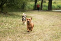 Dachshund with a mongrel play catch-up. On the lawn in autumn Stock Photos