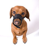 Dachshund in muzzle Stock Photography