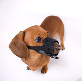 Dachshund in muzzle is angry Royalty Free Stock Image