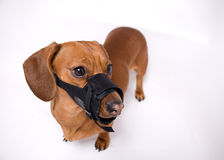 Dachshund in muzzle is angry Stock Image