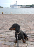 Dachshund at navy pier in Helsinki, Finland Royalty Free Stock Photo