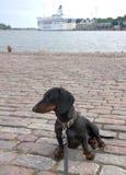 Dachshund at navy pier in Helsinki, Finland Royalty Free Stock Photo