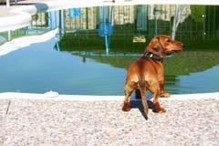 Dachshund near the pool Royalty Free Stock Photos