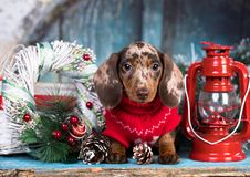 Dachshund New Year`s puppies stock image