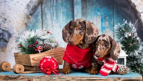 Dachshund New Year`s puppies stock photography