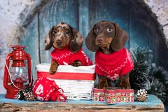 dachshund New Year`s puppies royalty free stock image
