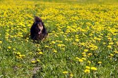 Dachshund no prado de florescência imagem de stock